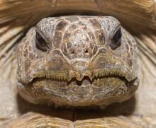 Close Up View Of Wild Florida Gopher Tortoise Face - Gopherus Polyphemus - Showing Sharp Pointy Serrated Edges