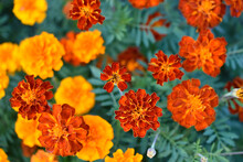 Red And Yellow Flowers Marigolds Lat. Tagetes Is A Genus Of Annual And Perennial Plants Of The Asteraceae Family