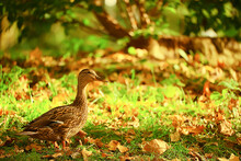Duck Autumn Park Mallard, Wild Duck Autumn View Migratory Bird Nature