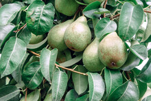 Beautiful Fresh Big  Young Pears Growing On A Tree. Close Up.