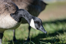 Canada Geese On A Recreational Lake Eating Grass On A The Shore