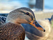 Mallard Female On The Water. Duck Portrait. Close-up.