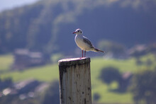 Closeup Of A Seagull Perched On A Wooden Pole Outdoors With A Blurry Background