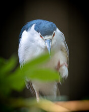 Close Up Of A Black-crowned Night Heron