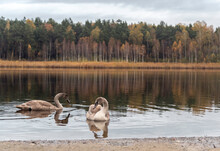 Two Young Swans Swimming On The Forest Lake On Overcast October Day
