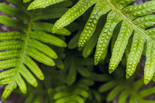 Selective Focus Of Some Fern Leaves, In A Natural And Humid Environment. Natural And Fresh Background.
