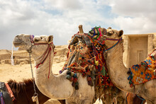 Close-up Of Two Camels At The Egyptian Pyramids Near Cairo, Egypt. Giza