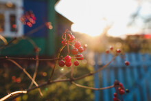 Autumn Background With Red Berries On Branches In The Garden