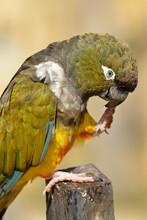 Profile Burrowing Parrots (Cyanoliseus Patagonus) Eating Food