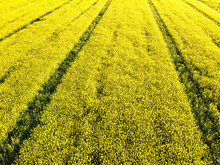 Aerial View Of Rapeseed Field With Yellow Flowers