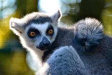 Portrait Ring-tailed Lemur (Lemur Catta)
