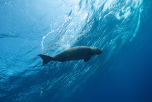 Dugong Swimming Near The Blue Sea Surface. Bottom View.