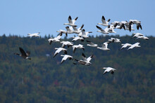 Flock Of Snow Geese Taking Off, With Forest In The Background, Under A Blue Sky
