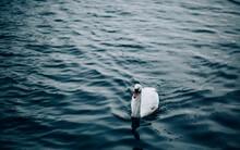 Beautiful Swan In A Lake.