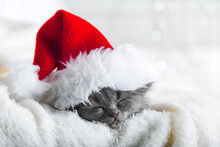 Christmas Gray Fluffy Kitten In Santa Claus Hat Sleep Portrait Wrapped Up In Soft Fluffy White Plaid. Christmas Grey New Year Cat Sleeping On White Background.