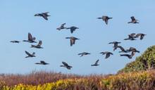 Cape Cormorants In Flight