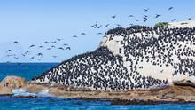 Cape Cormorants At Boulders Beach