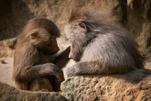 Hamadryas Baboon Mother With Young