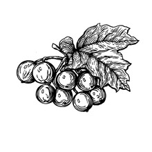Close-up Of A Viburnum With Leaves And Berries (Viburnum Opulus, Guelder Rose, Highbush Cranberry, Cramp Bark) Black And White Outline Illustration, Hand Drawn Work Isolated On White Background