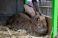 Large Gray Rabbit In An Open Cage With A Feeder. Breed Belgian Giant. Raising Domestic Rabbits On The Farm. Close-up.