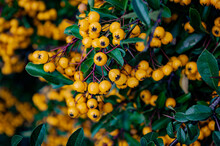 Scarlet Firethorn, Bush And Yellow Berries