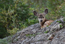 Mule Deer Fawn Hiding In A Natural Bowl In A Rock Outcropping Wasatch National Forest Utah Near Solitude Lake