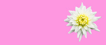 Dahlia White Star Cactus Flower Isolated On Pink Background.
