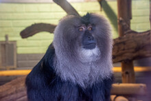 A Lion-tailed Macaque Resting On Log.