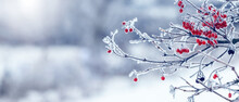 Viburnum Bush With Frost-covered Red Berries And Branches. Winter Christmas Background, Panorama