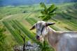 Szaro biała koza na tle zielonej polany