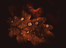 Drops Of Water On The Dry Leaf