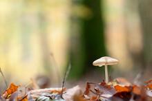 Rooting Shank Fungus Oudemansiella Radicata Growing On The Soil