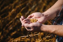 Farmer's Hand Holding Soybean Seeds. Healthy Organic Product. Good Harvest Concept.
