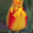 tulipan żółty czerwony