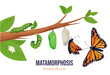 Cartoon butterfly life cycle metamorphosis vector flat illustration. Steps winged insect development