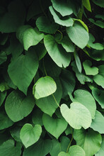 Closeup Of Pipe Vine Climbing Plant In The Garden