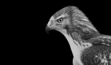 Grayscale Of An Angry Red-tailed Hawk Bird On A Black Background