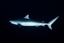 Tiger Shark In Night
