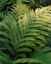 Natural Green Fern In The Forest. Сlose Up