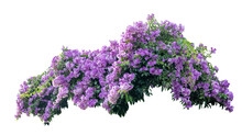 Large Bush Flowering Of Purple Flowers Landscape Plant Isolated On White Background And Clipping Path Included.