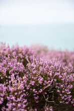 Coastal Pink Heather