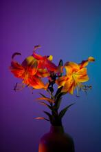 Delicate Orange Yellow Tiger Lilies In Blue Studio