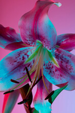 Exotic Japanese Lily With Pink Petals And Neon Light