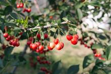 Ripe Cherries On Cherry Tree