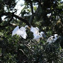 Egret Family In Their Nest