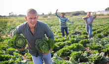 Man Stealing Cabbage On Vegetables Farm Field, Farmers Trying To Catch Up Thief