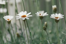Row Of Blooming White Daisies In Garden