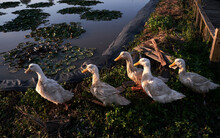 Closeup Of Five Cute Ducks