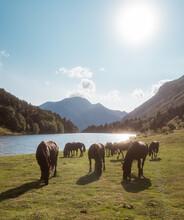 Herd Of Horses Eating Grass
