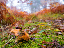 CLOSE UP Little Brown Mushroom Growing In Misty Forest On A Colourful Autumn Day